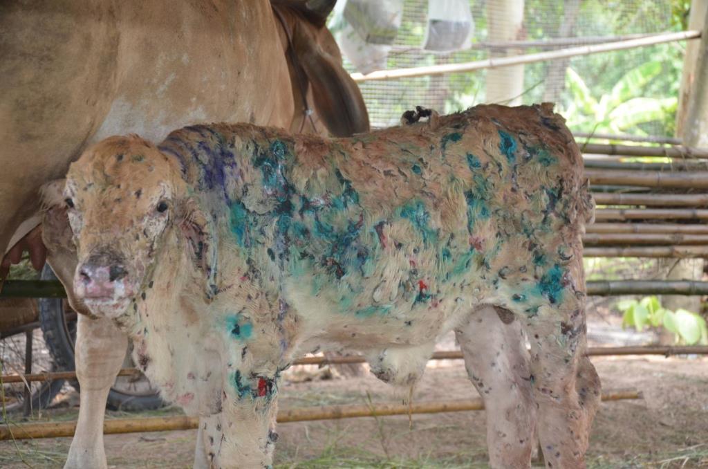 กลัววัวควายตายก่อนได้ยาจากกรมปศุสัตว์ อบจ.อุดรฯจัดงบ5แสนซื้อเวชภัณฑ์แจกเกษตรกรฟรี