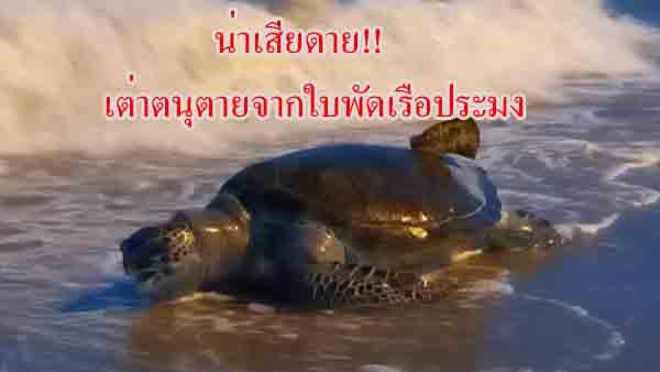 น่าเสียดาย! พบซากเต่าตนุน้ำหนักเกือบ 100 กก.ถูกคลื่นซัดเกยหาดบางแสน