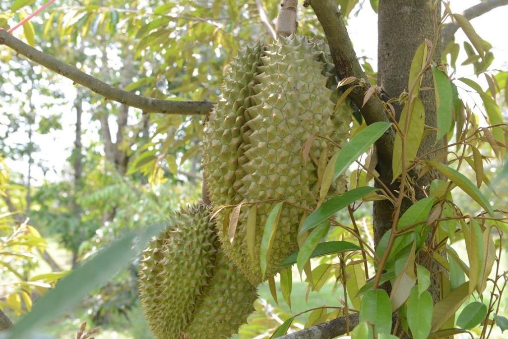ไทยตอบรับจีน ขอสุ่มตรวจสวนและล้ง 4 ผลไม้ไทย
