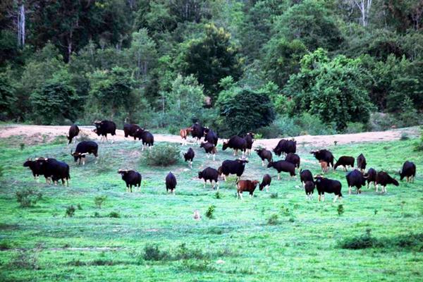 ภาพหาดูยากสัตว์ป่าจำนวนมากที่ กุยบุรี  ปรากฏตัว ลงแปลงหญ้า รอนักท่องเที่ยวเข้าชม