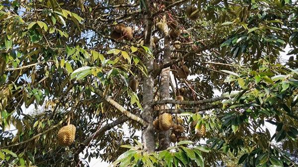 ป้องกันทุเรียน!! อช.แก่งกระจานจัดเจ้าหน้าที่เฝ้าระวังช้างป่าหลังทุเรียนออกผลผลิต