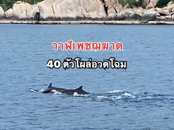 ตื่นเต้น! พบวาฬเพชฌฆาตแคระ 40 ตัว ว่ายน้ำหากินที่เกาะเต่า