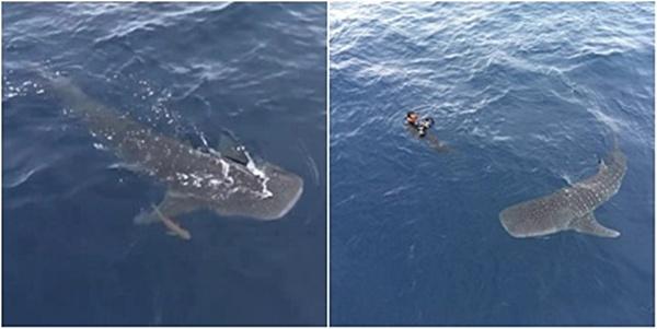 """ชมคลิปฉลามวาฬ """"น้องมาให้กำลังใจ"""" ในภารกิจเก็บกู้ซากอวนที่เกาะโลซิน"""