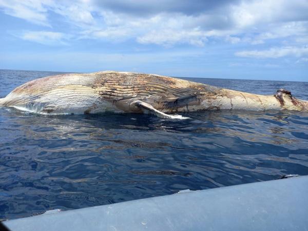 ชาวประมงพบซากวาฬบรูด้ายาว 10 เมตร ตายด้านหลังเกาะทะลุแหล่งดำน้ำชื่อดัง