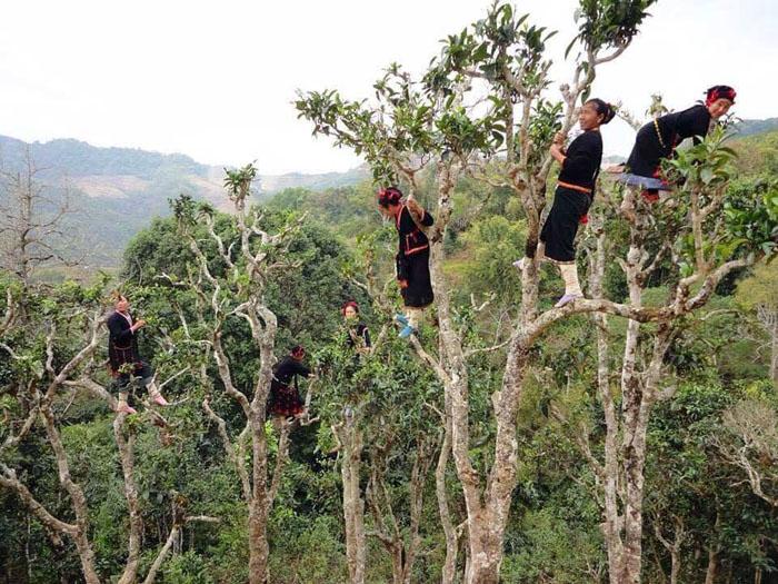 ต้นชาอายุกว่า 400 ปีในลาว สูงแค่ท่วมหัวไม่ถึงกับต้องปีนเด็ดยอด