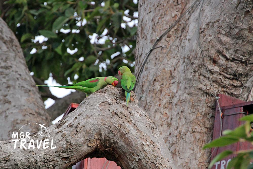 นกแก้วโมงลำตัวมีสีเขียว จะงอยปากสีแดงสด