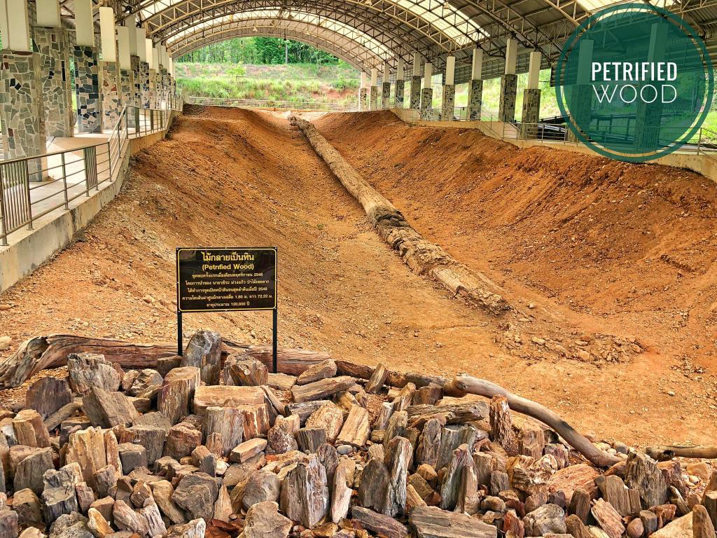 ไม้กลายเป็นหิน หลุม 1 ยาวที่สุดในโลก (ภาพ : อช.ดอยสอยมาลัย)