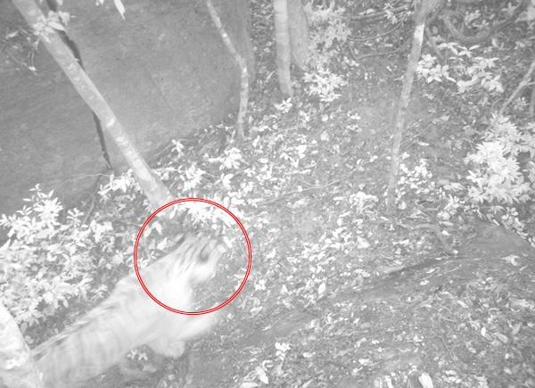 เสือโคร่ง โผล่หน้ากล้อง! บนเขาช่องตะโก อช.ตาพระยา สะท้อนผลสำเร็จระบบ NCAPS