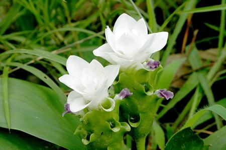 ดอกกระเจียวสีขาวหรือเทพอัปสร (ภาพจาก อช.ไทรทอง)