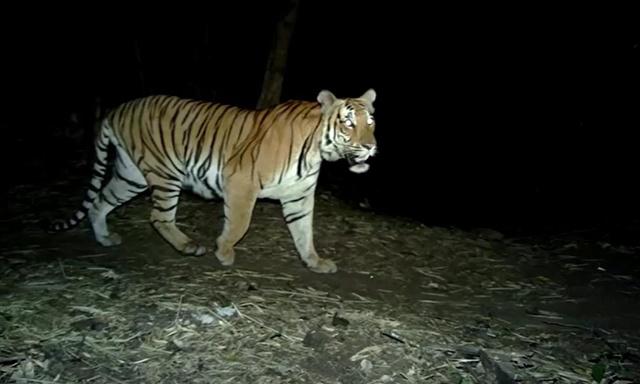 WWF วิเคราะห์สถานการณ์เสือโคร่งในป่าภูมิภาคอาเซียน ยังน่าห่วง!