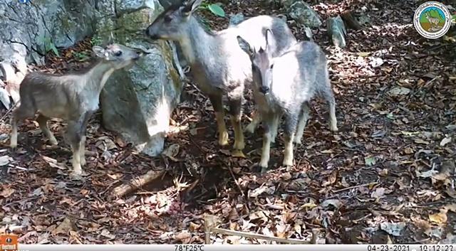 กล้องดักถ่ายจับภาพลูกกวางผา อยู่ได้ดีในธรรมชาติ! หลังปล่อยคืนป่า ขสป.เชียงดาว