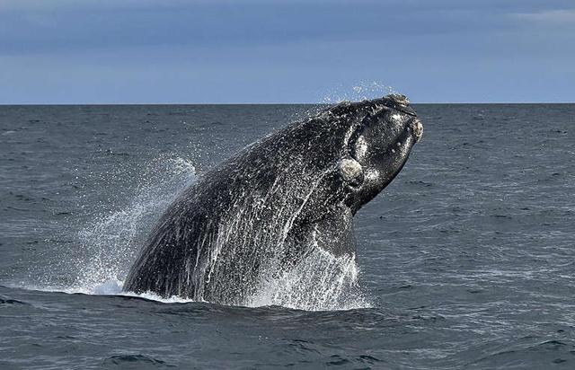 'วาฬไรต์แอตแลนติก' เสี่ยงสูญพันธุ์ กรีนพีซ ชวนดูสารคดี Entangled ภารกิจปกป้องที่อาจเป็นโอกาสสุดท้าย
