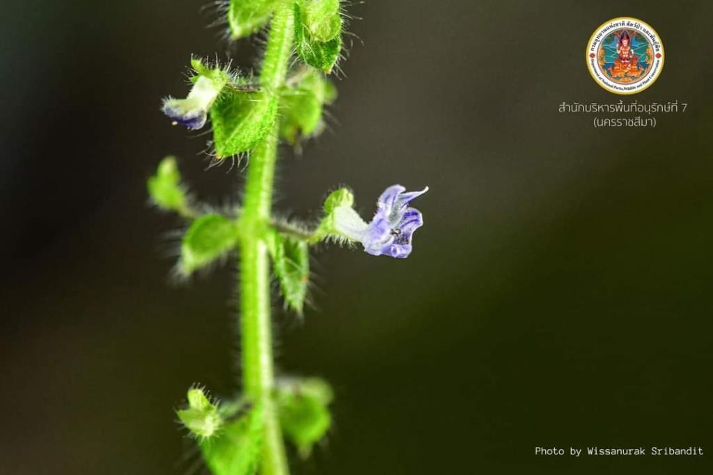 """ข่าวดี! ไทยพบ พืชชนิดใหม่ของโลก """"ข้าวตอกภูแลนคา"""" ที่ชัยภูมิ"""