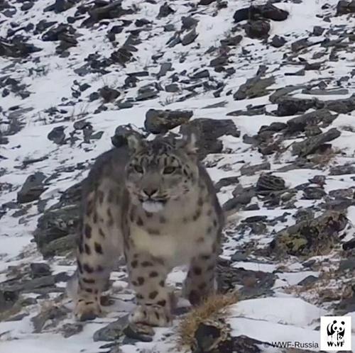 'เสือดาวหิมะ' โผล่ผ่านกล้องดักถ่าย ครั้งแรกรอบ 5 ปี ในคาซัคสถานตะวันออก