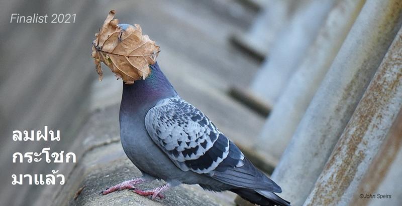 """""""I guess summer's over"""" (กระพ้มคิดว่าฤดูร้อนได้ผ่านไปแล้ว)  :  ภาพนกพิราบ  :  โดย จอห์น สเปียร์ส จากสหราชอาณาจักร  :  กดชัตเตอร์ที่เมืองโอบาน สกอตแลนด์ - - - - ฤดูร้อนผ่านพ้นไปตั้งแต่เมื่อใด คำตอบดูเหมือนจะลอยอยู่ในสายลม """"ผมกำลังถ่ายภาพฝูงพิราบโผบิน แล้วใบไม้นี้ก็หวือไปแปะหน้าของเจ้านก"""" ช่างภาพสเปียร์สเล่าที่มาของความประจวบเหมาะแห่งชีวิต"""