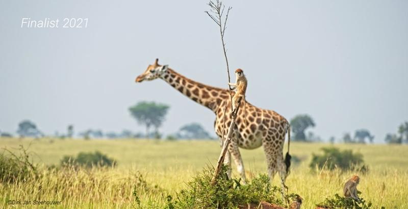 """""""Monkey riding a giraffe"""" (ลิงขี่ยีราฟ)  :  ภาพลิงซุกซนแอบขโมยขี่หลังยีราฟ  :  โดย เดิร์ก แจน สตีฮาวเวอร์ จากเนเธอร์แลนด์  :  กดชัตเตอร์ที่อุทยานแห่งชาติเมอร์ชิสัน ฟอลส์  ยูกันดา - - - - """"ขณะนั่งรถชมชีวิตสัตว์ป่า พวกเราเจอกลุ่มลิงเล่นกระโดดขึ้นกระโดดลงจากต้นไม้แกร็นๆ ที่มีกิ่งผอมชูขึ้นฟ้าแค่กิ่งเดียว ดูอยู่เพลินๆ สักพัก ผมเห็นยีราฟตัวหนึ่งเดินเข้าไปทางขวา จังหวะที่ยีราฟเฉียดผ่าน ลิงจอมซนโดดโผจากต้นแกร็นนี้ ไปนั่งขี่คร่อมหลังยีราฟได้อย่างพอดิบพอดีเลย"""""""