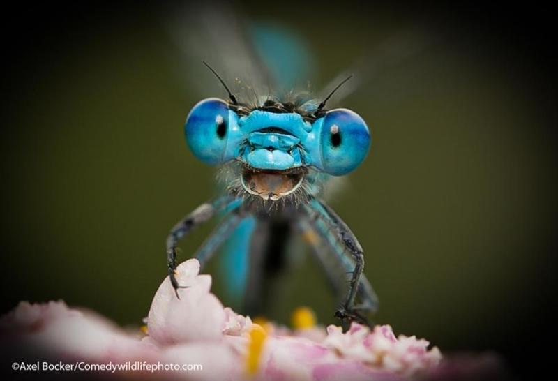 """""""Dont Worry. Be Happy"""" (อย่ากังวลเลย มีความสุขกันเถอะ)  :  ภาพแมลงปอ  :  โดย อเล็กซ์ บ็อกเคอร์  เยอรมนี  :  กดชัตเตอร์ที่เฮเมอร์ เยอรมนี - - - - """"แมลงปอบนดอกไม้ในรุ่งอรุณวันหนึ่ง จ้องยิ้มๆ ใส่กล้องของผม  เขาดูเหมือนจะหัวเราะอยู่ในแววตา  ชีวิตพวกเราในปี 2020/2021 ลำบากกันทั่วหน้าเพราะโรคระบาดโคโรนา  แต่เมื่อออกไปเดินเล่น และจับจ้องความงามแห่งธรรมชาติให้ดี ความทุกข์ทั้งปวงก็เหมือนจะลดน้อยลงสำหรับใจผม  ดังนั้น วันไหนที่รู้สึกแย่ ภาพนี้จะดึงรอยยิ้มของผมออกมา"""""""