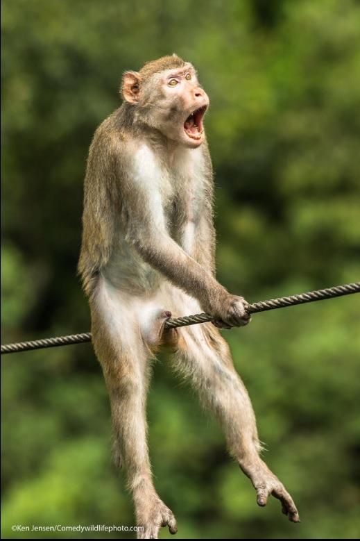 """""""Ouch! Golden Silk Monkey"""" (โอ๊ย! ลิงขนนุ่มเป็นไหมสีทอง)  :  ภาพลิงขนนุ่มเป็นไหมสีทอง  :  โดย เคน เจนเซน จากสหราชอาณาจักร  :  กดชัตเตอร์ที่ยูนนาน จีน - - - - อันที่จริงแล้ว ลิงขนนุ่มเป็นไหมสีทองตัวนี้ที่ยูนนาน ประเทศจีน แผดเสียงกัมปนาทแสดงความเป็นเจ้าถิ่น แต่ถ่ายภาพขึ้นมาแล้ว ดูเหมือนกับจะร้องโวยวายว่าเจ็บ"""