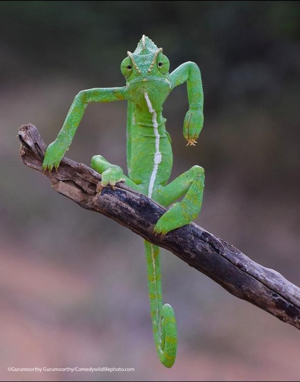 """""""Grumpy Chameleon"""" (กิ้งก่าอารมณ์ร้าย)  :  ภาพกิ้งก่าคาเมเลี่ยนอินเดีย  :  โดย กุรุมูรถี กุรุมูรถี ชาวเจนไน อินเดีย  :  กดชัตเตอร์ที่เทือกเขาฆาฏตะวันตก อินเดีย - - - - บุคลิกท่าทางของคุณกิ้งก่าละม้ายอาแปะจอมมาเฟียผู้มีเล็บคมยาว"""