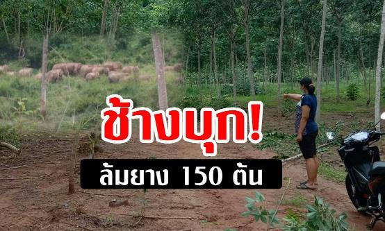 ช้างป่าเกือบ 100 ตัวบุกทำลายสวนยางพาราและพืชสวนชาวบ้านใน  จ.จันทบุรี