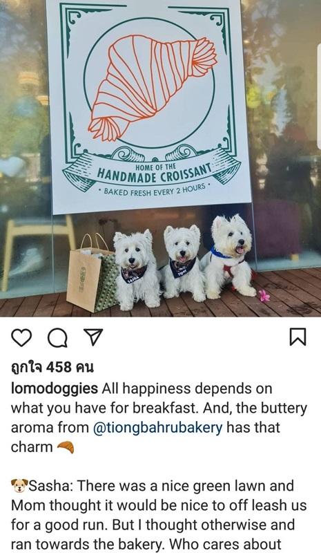 """ช่วยมามี้ทำมาหากิน ซัสช่าและไปป์เปอร์ (พร้อมสหาย) ถ่ายภาพโปรโมทร้านเบเกอรี่ ชื่อ Tiongbahru Bakery พร้อมให้ถ้อยคำน่ารักที่จูงใจให้นึกอยากไปชิม บอกว่า """"ความสุขทั้งหลายขึ้นอยู่กับว่าได้ทานอะไรเป็นอาหารเช้า กลิ่นหอมเนยจากร้าน @tiongbahrubakery มีเสน่ห์มาก"""" แล้วซัสช่าเล่าว่า มีสนามหญ้าเขียวสวยซึ่งมามี้คิดว่าปล่อยสายจูงให้เราได้วิ่งออกกำลังกาย แต่หนูคิดไปอีกทางหนึ่ง และวิ่งไปยังร้านเบเกอรี่แทน ใครจะไปสนเรื่องวิ่ง ในเมื่อหนูมีครัวซองต์หอมเนยให้หม่ำ"""