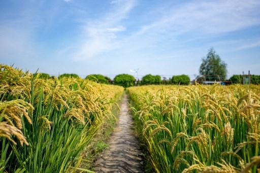 """ข้าวพันธุ์ไฮบริดจีนทุบสถิติผลผลิตสูงสุด มรดก """"หยวน หลงผิง"""" เลี้ยงอิ่ม 80 ล้านคน"""
