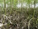 """""""ป่าชายเลน""""เกราะกันภัยธรรมชาติ ช่วยลดทอนอำนาจสึนามิ/ ปิ่น บุตรี"""