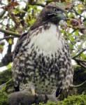 """นกสู้ชีวิต! เหยี่ยวมะกันถูกตะปู """"ปักคาหัว"""" แต่ไม่ตาย-ยังบินได้ต่อไป"""