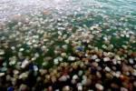 สุดฮือฮา!!! แมงกะพรุนมหาศาล ลอยในทะเลตราด