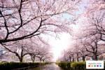 เลือกหาที่พักราคาประหยัดรับฤดูดอกซากุระบานของญี่ปุ่น