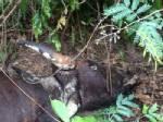 สุดสลด! พบกระทิงเพศเมียตายอีก 1 ในโครงการฯ กุยบุรี