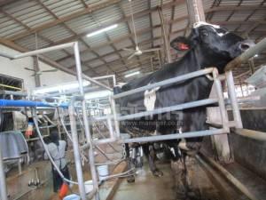 ล้วงคำตอบอาชีพเลี้ยงวัวนม โอกาสทองบนความท้าทาย