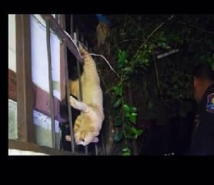 หน่วยกู้ภัยฯ ช่วยชีวิตแมวจอมซนวิ่งตกหลังคาถูกเหล็กรั้วเสียบ