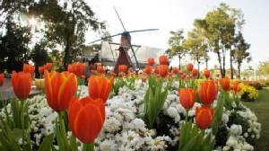 """อุทยานหลวงราชพฤกษ์ จัดทุ่ง """"ดอกทิวลิป"""" หลากสีสัน ดึงคนร่วมเทศกาลชมสวน"""