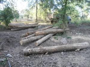 มอดไม้แสบลอบตัดสักทองป่าสงวนฯ เขตเชียงของเหลือแต่ตอ