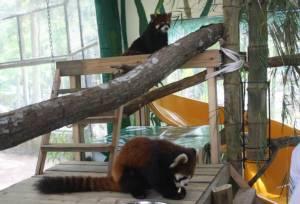 """สวนสัตว์เปิดเขาเขียวเปิดตัว """"แพนด้าแดง"""" ของขวัญปีใหม่จากประเทศญี่ปุ่น"""