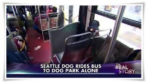 """น้องหมาลาบราดอร์ซีแอตเติลสุดฉลาด ฉายเดี่ยว """"ขึ้นรถเมล์ไปสวนสาธารณะสุนัข"""" ทุกวันโดยไม่ง้อเจ้าของ"""