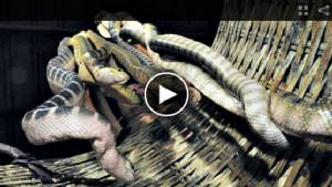 ไปดูคลิปตังเกเวียดจับงูในทะเลอ่าวไทยจับได้ปีละ 80 ตัน