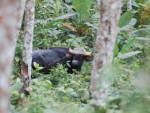 พบวัวกระทิงหนีแล้งจากเขตอุทยานหากินอาหารในสวนชาวบ้านที่สุราษฎร์ฯ