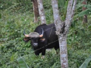เตรียมกันพื้นที่รับนักท่องเที่ยวชมกระทิงป่าที่อำเภอพนม