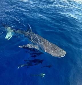 """ตื่นตา """"ฉลามวาฬ"""" โชว์ตัวฝั่งอันดามัน ยืนยันความสมบูรณ์ท้องทะเลไทย"""
