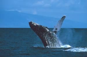 """""""วาฬหลังค่อม"""" โผล่หากินใกล้เกาะลันตา ตอกย้ำกระบี่ไม่ควรมีโรงไฟฟ้าถ่านหิน(ชมคลิป)"""