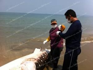 สุดสลดซากฉลามวาฬลอยอยู่ในทะเลที่กระบี่ คาดถูกอวนรัด (ชมคลิป)