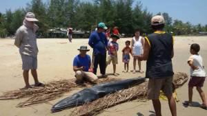 """พบ """"ลูกวาฬบรูด้า"""" หนัก 200 กิโลกรัม เกยหาดบ้านปากคลองเกลียว พื้นที่บ่อนอก"""