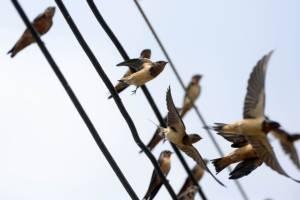 พฤติกรรมบินเป็นฝูงของนก