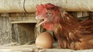 ร้อนอบอ้าวกระทบฟาร์มไก่ไข่ให้ผลผลิตน้อยเสี่ยงติดเชื้อตาย