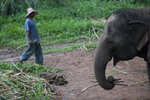 Elephant kills Thai man at beachside restaurant