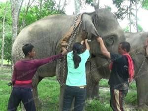 สัตวแพทย์ตรังออกตรวจสุขภาพช้าง 6 อำเภอ ป้องกันการเจ็บป่วยและสวมสิทธิช้าง