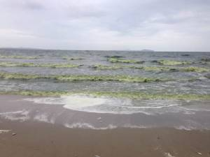 """""""แพลงก์ตอนบูม"""" ทะเลบางแสน น้ำทะเลมีสีเขียวส่งกลิ่นเหม็นคลุ้ง (ชมคลิป)"""
