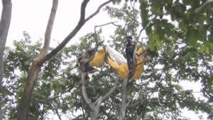 ลมพัดหนักมาก นักกีฬาร่มบินบังคับร่มลงสนามกอล์ฟปราณฯ ติดค้างบนต้นไม้ รอดหวุดหวิด